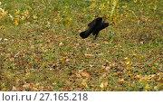 Купить «The rook flies away», видеоролик № 27165218, снято 31 октября 2017 г. (c) Илья Шаматура / Фотобанк Лори