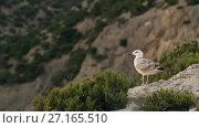 Купить «Seagull sitting on the rock», видеоролик № 27165510, снято 31 октября 2017 г. (c) Илья Шаматура / Фотобанк Лори