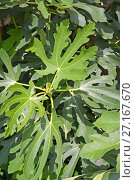 Купить «Листья инжира (Ficus carica L.) крупным планом», фото № 27167670, снято 14 августа 2017 г. (c) Ирина Борсученко / Фотобанк Лори