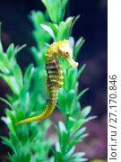 Морской конек (Hippocampus hippocampus) Стоковое фото, фотограф Евгений Ткачёв / Фотобанк Лори