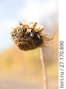 Купить «Dead sunflower», фото № 27170890, снято 20 сентября 2015 г. (c) Евгений Ткачёв / Фотобанк Лори