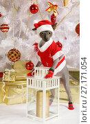 Don Sphinx cat dressed in Christmas costume. Стоковое фото, фотограф Алексей Кузнецов / Фотобанк Лори