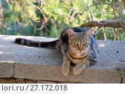 Купить «Кот смотрит в камеру», эксклюзивное фото № 27172018, снято 19 сентября 2017 г. (c) Юрий Морозов / Фотобанк Лори