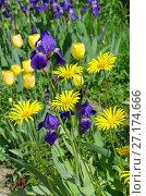 Купить «Желтый дороникум (лат. Doronicum) и фиолетовые бородатые ирисы (лат. Iris barbatus) цветут в саду», фото № 27174666, снято 10 июня 2017 г. (c) Елена Коромыслова / Фотобанк Лори