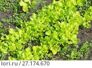 Купить «Листовой салат растет на грядке», эксклюзивное фото № 27174670, снято 17 июня 2017 г. (c) Елена Коромыслова / Фотобанк Лори