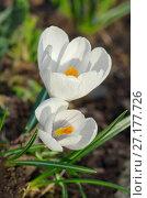 Купить «Белые крокусы (лат. Crocus)», фото № 27177726, снято 30 апреля 2017 г. (c) Елена Коромыслова / Фотобанк Лори