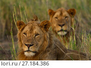 Купить «Lions (Panthera leo) two adult brothers, Gorongosa National Park, Mozambique.», фото № 27184386, снято 19 января 2018 г. (c) Nature Picture Library / Фотобанк Лори