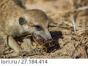 Купить «Meerkat (Suricata suricatta) chewing on a scorpion (Parabuthus sp.), Kalahari Desert, South Africa.», фото № 27184414, снято 5 августа 2020 г. (c) Nature Picture Library / Фотобанк Лори