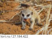 Купить «Meerkat pup (Suricata suricatta) eating a solifuge in the Kalahari Desert, South Africa», фото № 27184422, снято 5 августа 2020 г. (c) Nature Picture Library / Фотобанк Лори