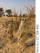 Купить «Meerkats (Suricata suricatta) relaxing in sun themselves at sunrise in the Kalahari Desert, South Africa.», фото № 27184442, снято 5 августа 2020 г. (c) Nature Picture Library / Фотобанк Лори