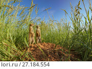 Купить «Meerkats (Suricata suricatta) stand at a burrow entrance in a field of Kalahari sour grass (Schmidtia kalihariensis) in the Kalahari Desert of South Africa.», фото № 27184554, снято 18 августа 2018 г. (c) Nature Picture Library / Фотобанк Лори
