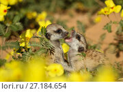 Купить «Meerkat (Suricata suricatta) two pups playing among a field of yellow devil's thorn flowers (Suricata suricatta) in the Kalahari Desert of South Africa.», фото № 27184654, снято 27 мая 2018 г. (c) Nature Picture Library / Фотобанк Лори