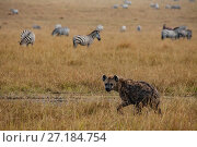 Купить «Spotted hyena (Crocuta crocuta) with Plains zebra (Equus quagga) on rainy day, Maasai Mara National Reserve, Kenya.», фото № 27184754, снято 7 июля 2020 г. (c) Nature Picture Library / Фотобанк Лори