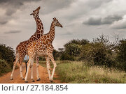 Купить «Reticulated giraffes (Giraffa camelopardalis reticulata) two males necking / fighting. Laikipia Plateau, Kenya.», фото № 27184854, снято 20 апреля 2018 г. (c) Nature Picture Library / Фотобанк Лори