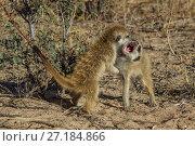 Купить «Meerkat (Suricata suricatta) two pups playfight in the Kalahari Desert,  South Africa.», фото № 27184866, снято 5 августа 2020 г. (c) Nature Picture Library / Фотобанк Лори