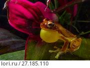 Купить «Hourglass tree frog (Dendropsophus ebraccatus) male calling for mate, Carara National Park, Costa Rica.», фото № 27185110, снято 21 января 2018 г. (c) Nature Picture Library / Фотобанк Лори