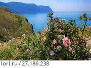 Купить «Дикий шиповник цветет весной на вершине холма на фоне моря и гор», фото № 27186238, снято 30 мая 2017 г. (c) Яна Королёва / Фотобанк Лори