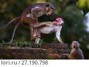 Купить «Toque macaques (Macaca sinica sinica) mating. Polonnaruwa, Sri Lanka February.», фото № 27190798, снято 28 мая 2020 г. (c) Nature Picture Library / Фотобанк Лори