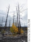 Купить «Мертвый лес на полуострове Камчатка», фото № 27192734, снято 17 сентября 2013 г. (c) А. А. Пирагис / Фотобанк Лори