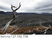Купить «Мертвый лес на полуострове Камчатка», фото № 27192738, снято 17 сентября 2013 г. (c) А. А. Пирагис / Фотобанк Лори