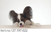 Beautiful young male dog Continental Toy Spaniel Papillon eating a dry food close-up on white background. Стоковое фото, фотограф Юлия Машкова / Фотобанк Лори