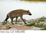 Spotted hyena, Africa (2016 год). Стоковое фото, фотограф Знаменский Олег / Фотобанк Лори