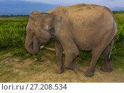 Купить «Elephants, Udawalawe National Park, Sri Lanka. Udawalawe is an important habitat for water birds and Sri Lankan elephants.», фото № 27208534, снято 23 марта 2017 г. (c) age Fotostock / Фотобанк Лори