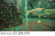 Купить «Fishes at aquarium», видеоролик № 27209070, снято 5 октября 2016 г. (c) Илья Шаматура / Фотобанк Лори