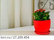 Купить «Red pot flower Kalanchoe in interior», фото № 27209454, снято 15 ноября 2017 г. (c) Володина Ольга / Фотобанк Лори