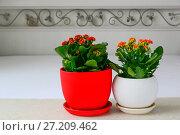 Купить «Two potted flower Kalanchoe in interior», фото № 27209462, снято 15 ноября 2017 г. (c) Володина Ольга / Фотобанк Лори