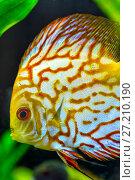 Купить «Yellow Gold discus fish», фото № 27210190, снято 18 апреля 2016 г. (c) Евгений Ткачёв / Фотобанк Лори