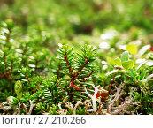Купить «Crowberries or siksa», фото № 27210266, снято 11 сентября 2006 г. (c) Евгений Ткачёв / Фотобанк Лори