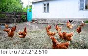 Купить «Red thoroughbred chickens in courtyard of rural house in Russia», видеоролик № 27212510, снято 8 июня 2017 г. (c) Володина Ольга / Фотобанк Лори