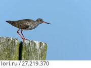 Купить «Common redshank (Tringa totanus) on a pole,  Vendeen Marsh, France, April», фото № 27219370, снято 16 августа 2018 г. (c) Nature Picture Library / Фотобанк Лори