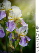 Купить «Beautiful violet with white flowers irises», фото № 27219494, снято 26 мая 2017 г. (c) Peredniankina / Фотобанк Лори