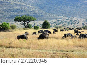 Купить «Masai Mara, Kenya, Africa», фото № 27220946, снято 21 августа 2010 г. (c) Знаменский Олег / Фотобанк Лори
