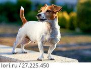 Jack Russell Terrier outdoors. Стоковое фото, фотограф Alexander Tihonovs / Фотобанк Лори