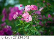 Купить «Розовые флоксы», фото № 27234342, снято 6 сентября 2016 г. (c) Татьяна Белова / Фотобанк Лори