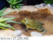 Купить «Африканская жаба-водонос ( лягушка-бульдог) African Bullfrog», фото № 27235342, снято 15 января 2016 г. (c) Галина Савина / Фотобанк Лори