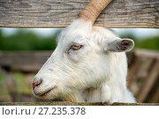 Купить «Профиль козы, выглядывающий из загона», фото № 27235378, снято 3 августа 2017 г. (c) Pukhov K / Фотобанк Лори