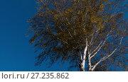 Купить «Autumn trees with yellowing leaves against the sky», видеоролик № 27235862, снято 14 октября 2017 г. (c) Игорь Жоров / Фотобанк Лори