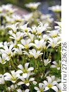 Купить «Chickweed blooms macro in the garden outdoors (Cerastium uralense)», фото № 27236726, снято 9 июня 2013 г. (c) Евгений Ткачёв / Фотобанк Лори