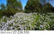 Купить «Lot of blue flowers with butterflies near the edge of forest», видеоролик № 27238550, снято 10 августа 2017 г. (c) Володина Ольга / Фотобанк Лори