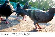 Купить «Городские голуби клюют хлеб», эксклюзивное фото № 27238678, снято 23 августа 2008 г. (c) Давид Мзареулян / Фотобанк Лори