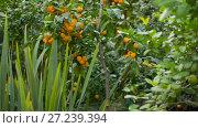 Купить «Tangerines on a tree at garden», видеоролик № 27239394, снято 4 января 2005 г. (c) Илья Шаматура / Фотобанк Лори