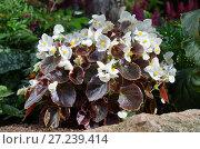 Бегония вечноцветущая (лат. Begonia semperflorens) на клумбе в саду. Стоковое фото, фотограф Елена Коромыслова / Фотобанк Лори