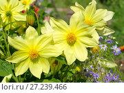 Желтые однолетние георгины (лат. Dаhlia) цветут в саду. Стоковое фото, фотограф Елена Коромыслова / Фотобанк Лори