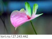 Купить «Розово-зеленый антуриум  (anthurium)», фото № 27243442, снято 6 сентября 2016 г. (c) Татьяна Белова / Фотобанк Лори
