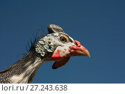 Купить «Helmeted Guinea Fowl (Numida Meleagris) portrait», фото № 27243638, снято 26 апреля 2017 г. (c) Goruppa / Фотобанк Лори