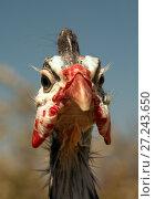 Купить «Helmeted Guinea Fowl (Numida Meleagris) portrait», фото № 27243650, снято 28 апреля 2017 г. (c) Goruppa / Фотобанк Лори